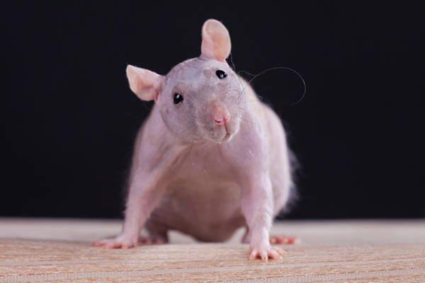 2020 год Крысы