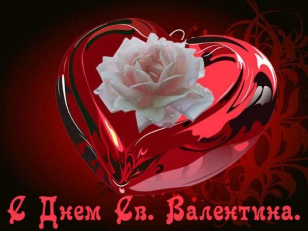 белая роза а день святого Валентина