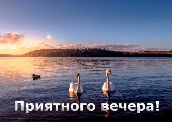 вечернее озеро с лебедями